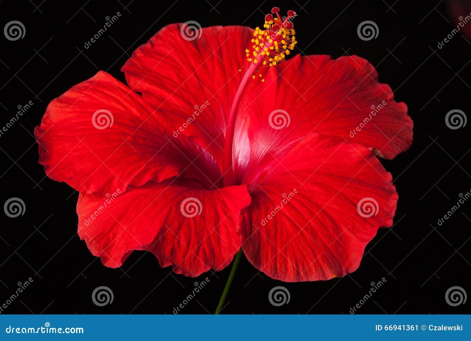 Red hibiscus flower on black background stock image image of red hibiscus flower on black background izmirmasajfo