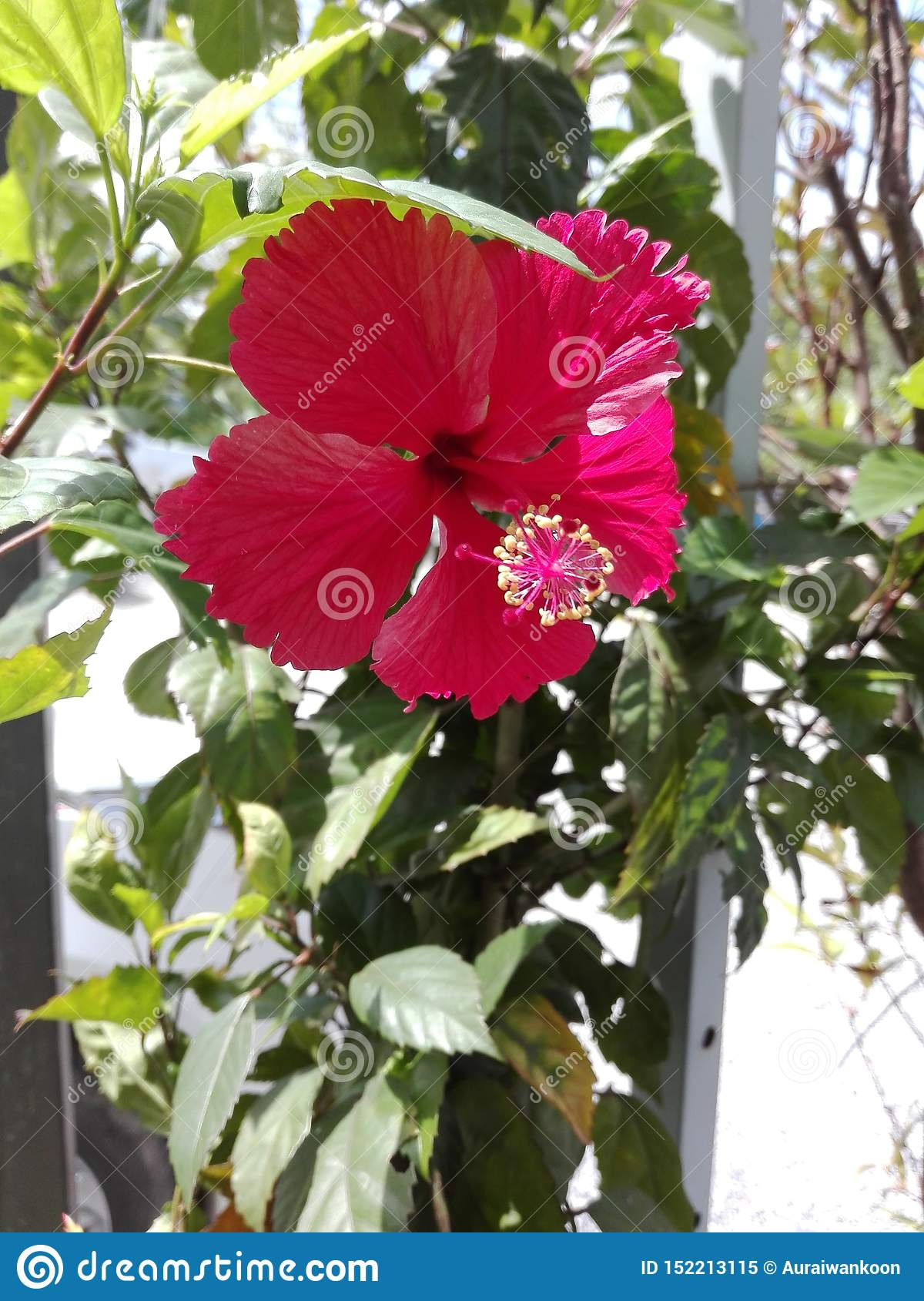 Red Hibiscus Flower Are Blooming Stock Image - Image of hibiscus
