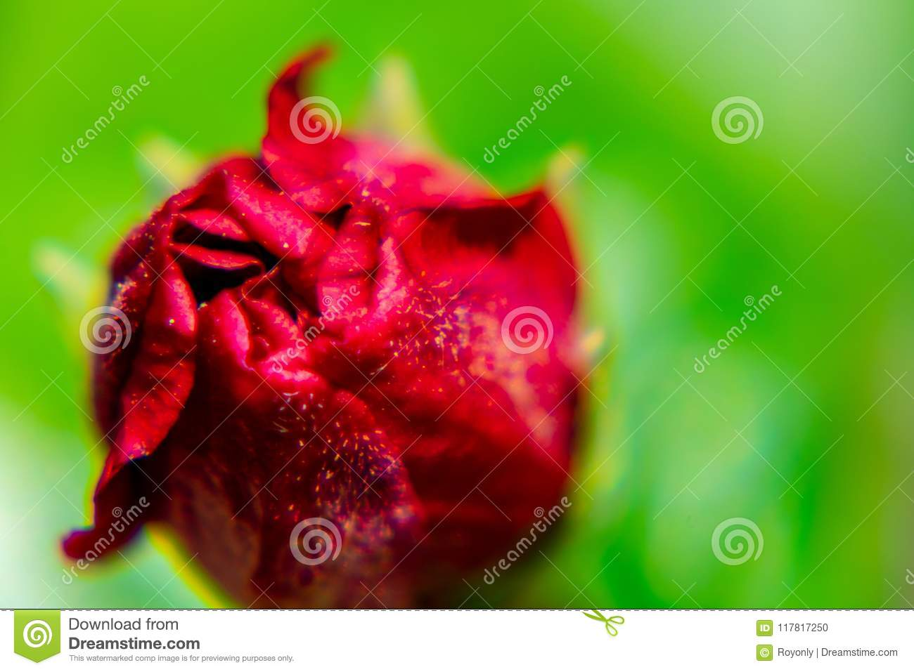 Red Hibiscus Flower Bud Stock Photo Image Of Macro 117817250