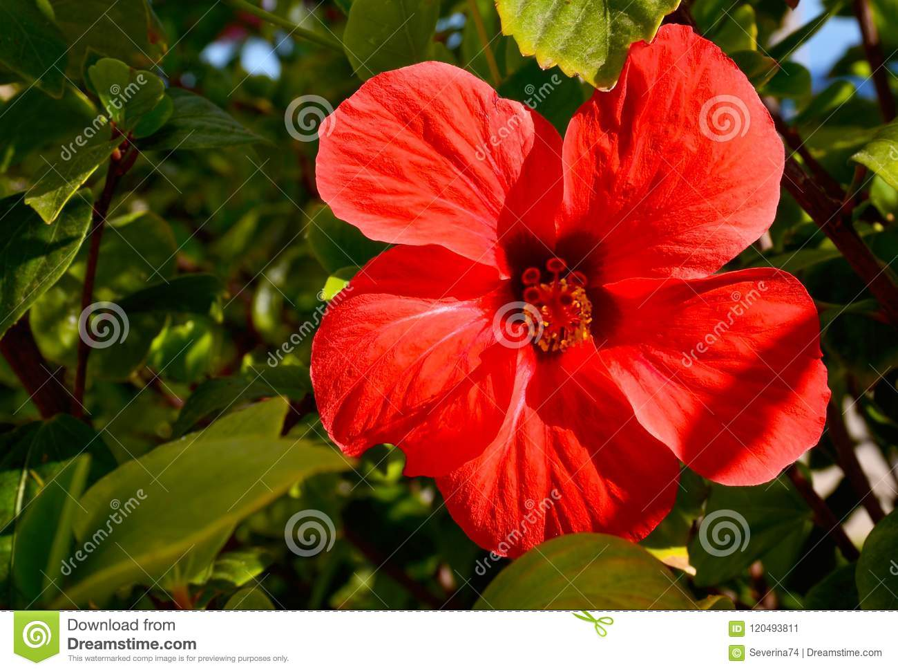 Red hibiscus flower in a tropical garden of tenerifecanary islands red hibiscus flower china rosechinese hibiscushawaiian hibiscus in a tropical garden of tenerifecanary islandsspainfloral backgroundlective focus izmirmasajfo