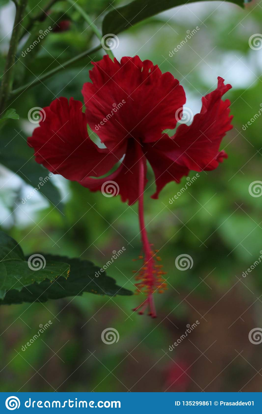 Red Hibiscus Flower In Garden Stock Image Image Of Green Leaves 135299861