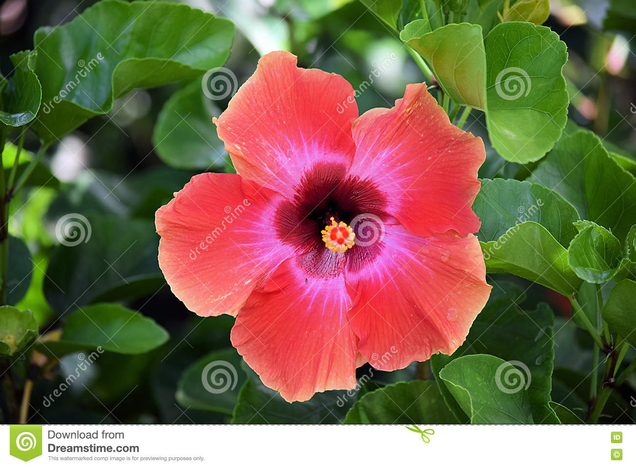 Red hibiscus flower growing stock photo image of aloha gardeners red hibiscus flower growing izmirmasajfo
