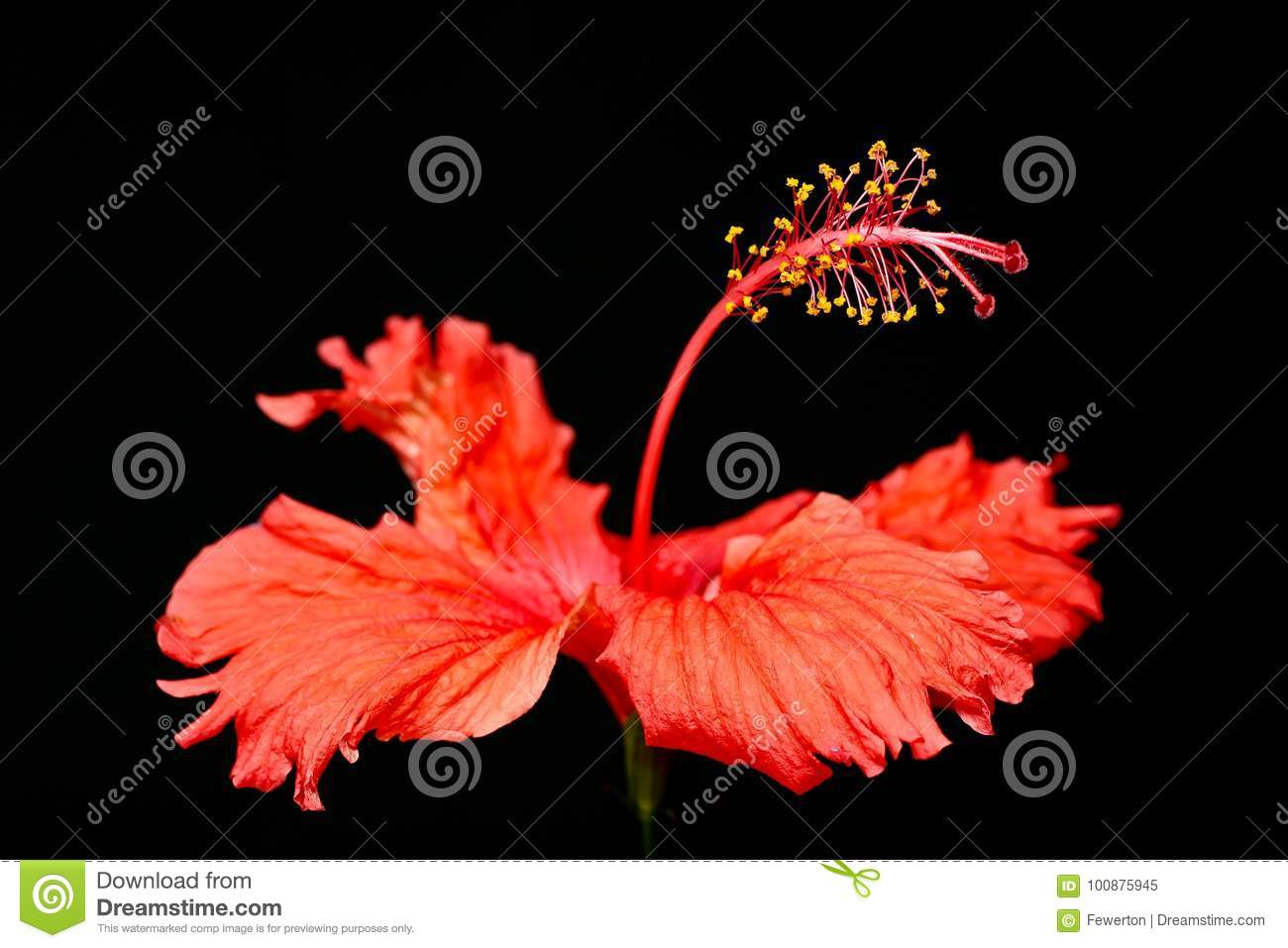 Red hibiscus flower hibiscus rosa sinensis macro close up photo on download red hibiscus flower hibiscus rosa sinensis macro close up photo on izmirmasajfo