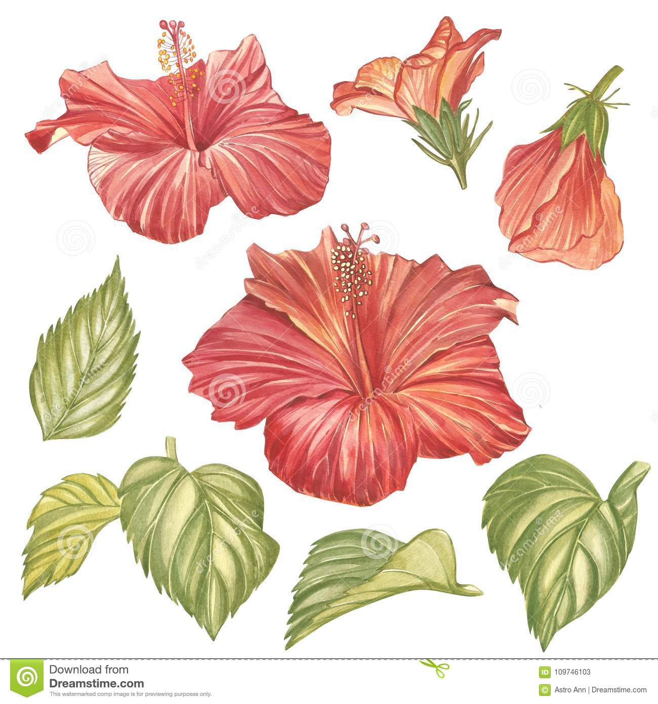 Red Hibiscus Flower Isolated On White Background Watercolor