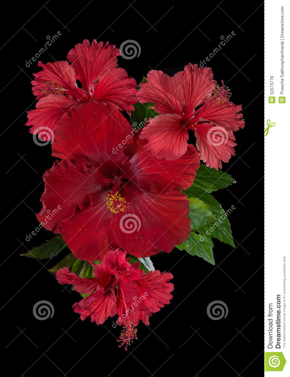 Red hibiscus flower with leaves stock photo image of head black download red hibiscus flower with leaves stock photo image of head black 52573778 izmirmasajfo