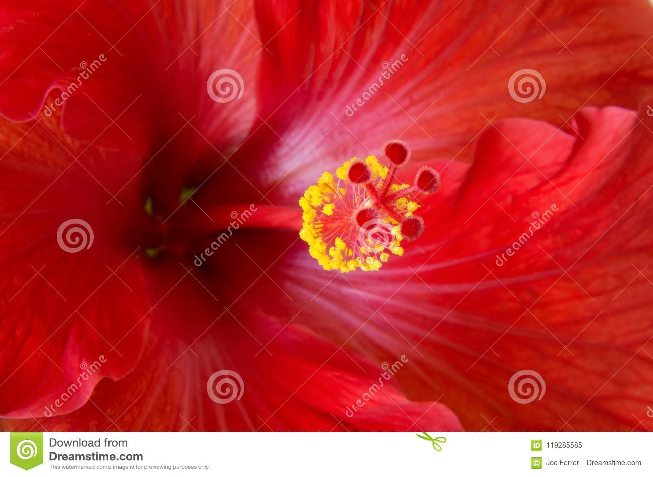 Red Hibiscus Flower Macro And Details Stock Image Image Of Rosa