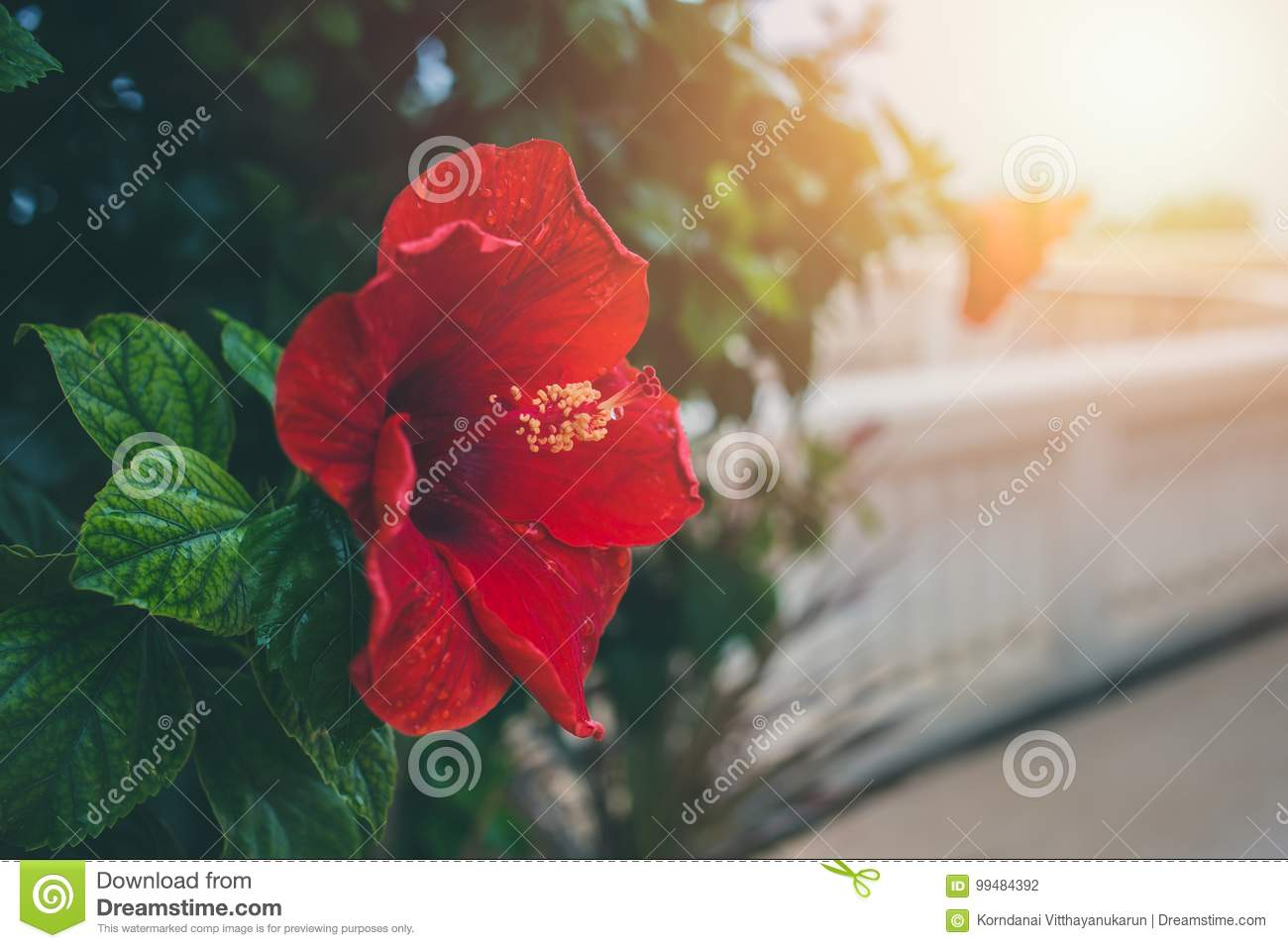 Red Hibiscus Flower Stock Photo Image Of Beauty Live 99484392