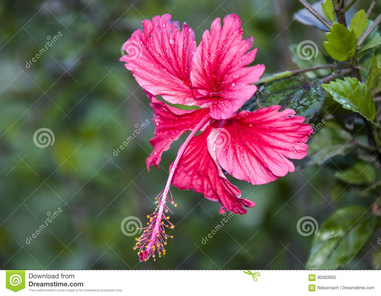Red Hibiscus Flower Stock Image Image Of Leaf Colorful 90393905