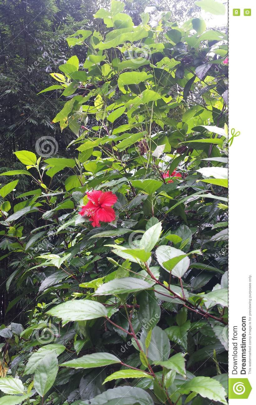 Red Hibiscus 2 Stock Image Image Of Rainforest Green 78653293