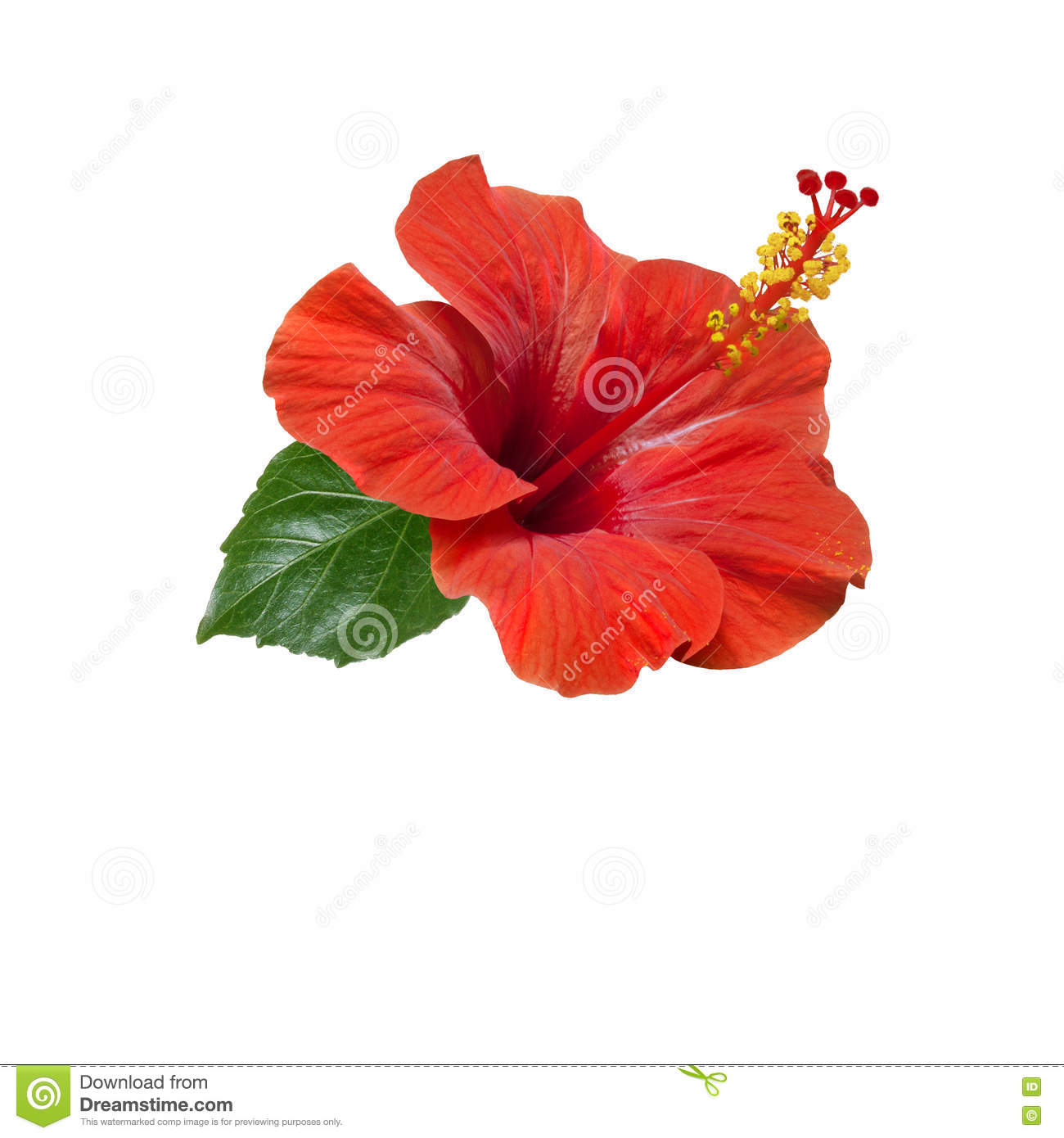 Red hibiscus flowers leaves and buds stock image image of resort royalty free stock photo izmirmasajfo