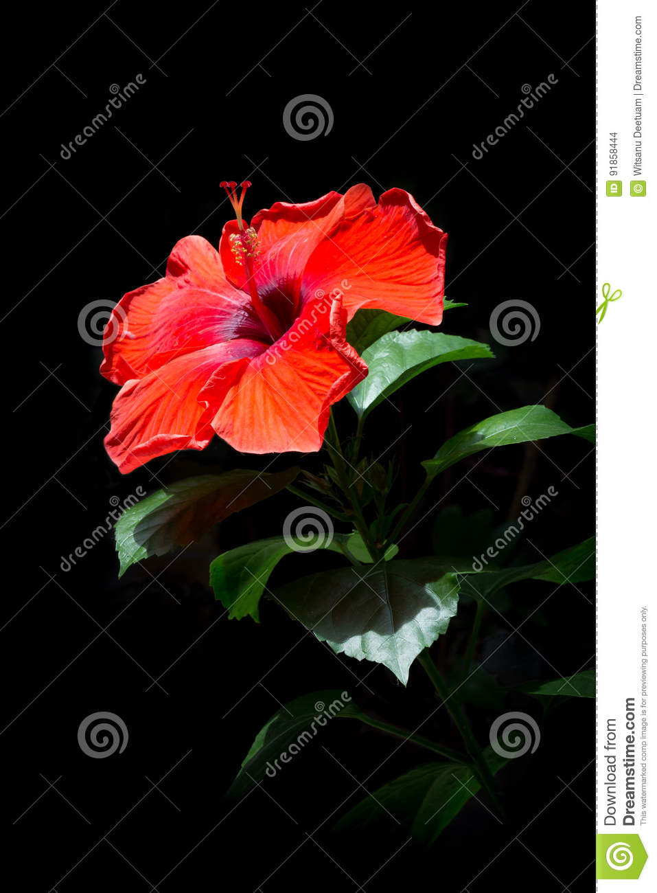 Red hibiscus flowers red flowers on a black background beauti royalty free stock photo izmirmasajfo