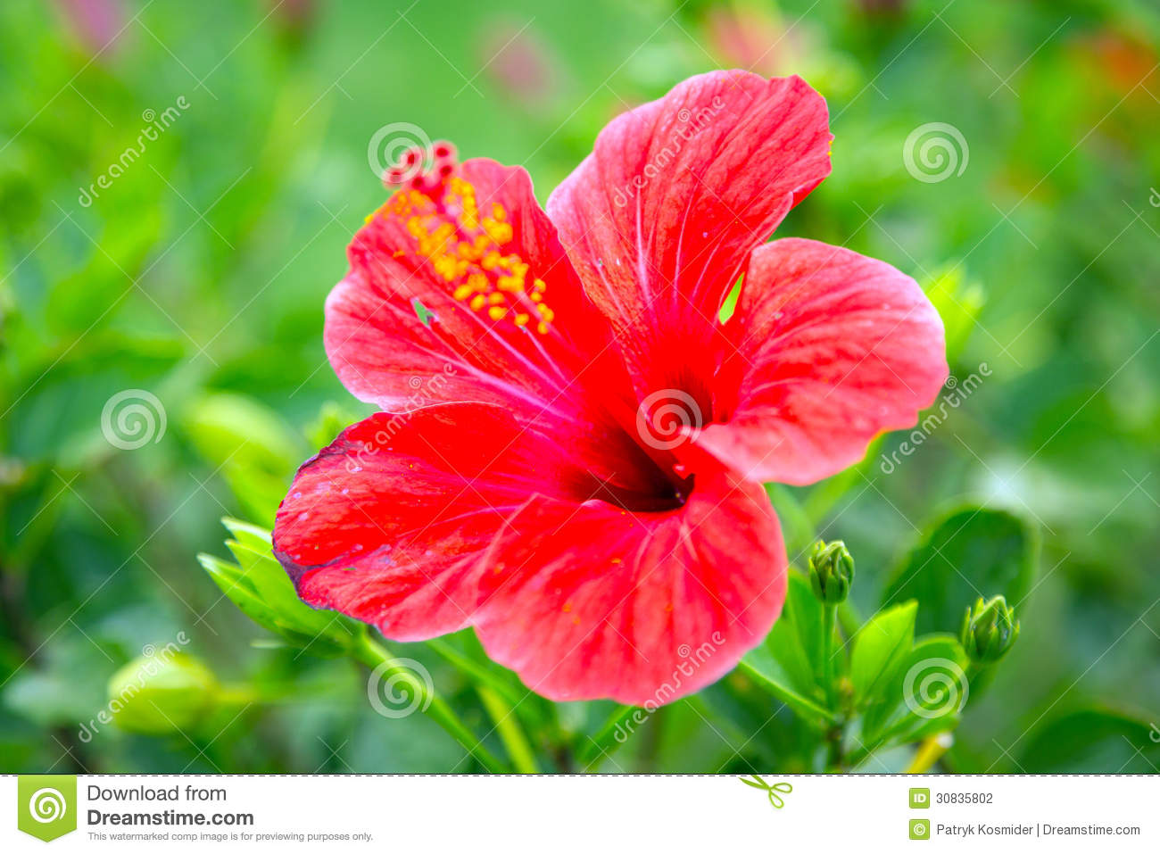 Fiori Hibiscus.Red Hibiscus Flowers In The Tropical Garden Stock Photo Image Of