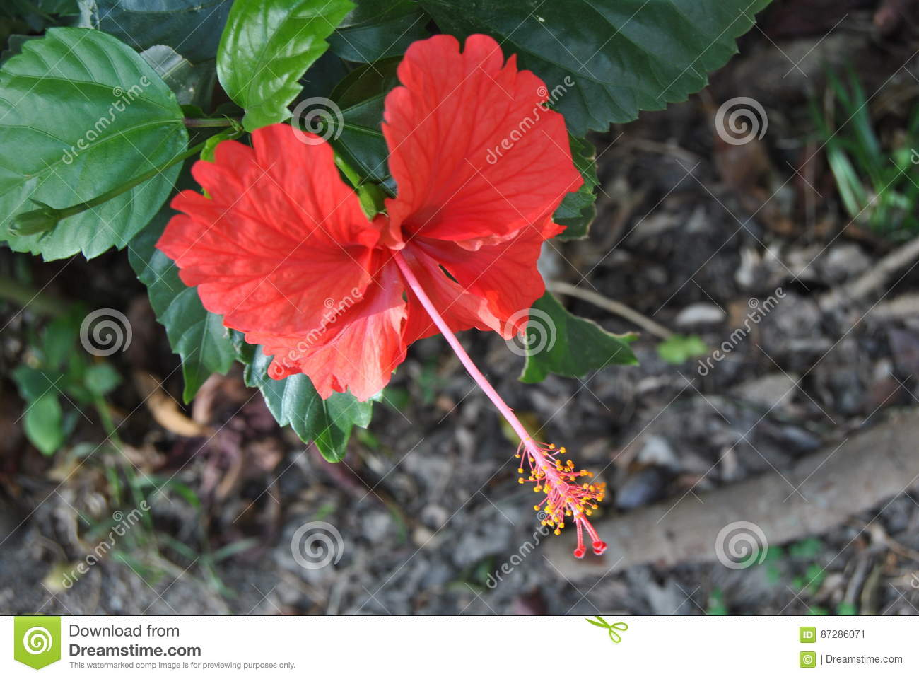 Red hibiscus stock image image of nature flower tropic 87286071 download red hibiscus stock image image of nature flower tropic 87286071 izmirmasajfo