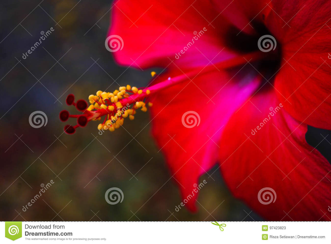 Red Hibiscus Stock Image Image Of Plant Nature Yellow 97423823