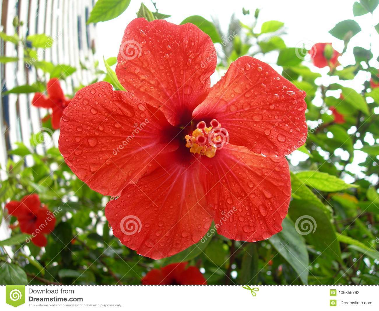 Red Hibiscus Like A Heart In The Sky Stock Photo Image Of Need