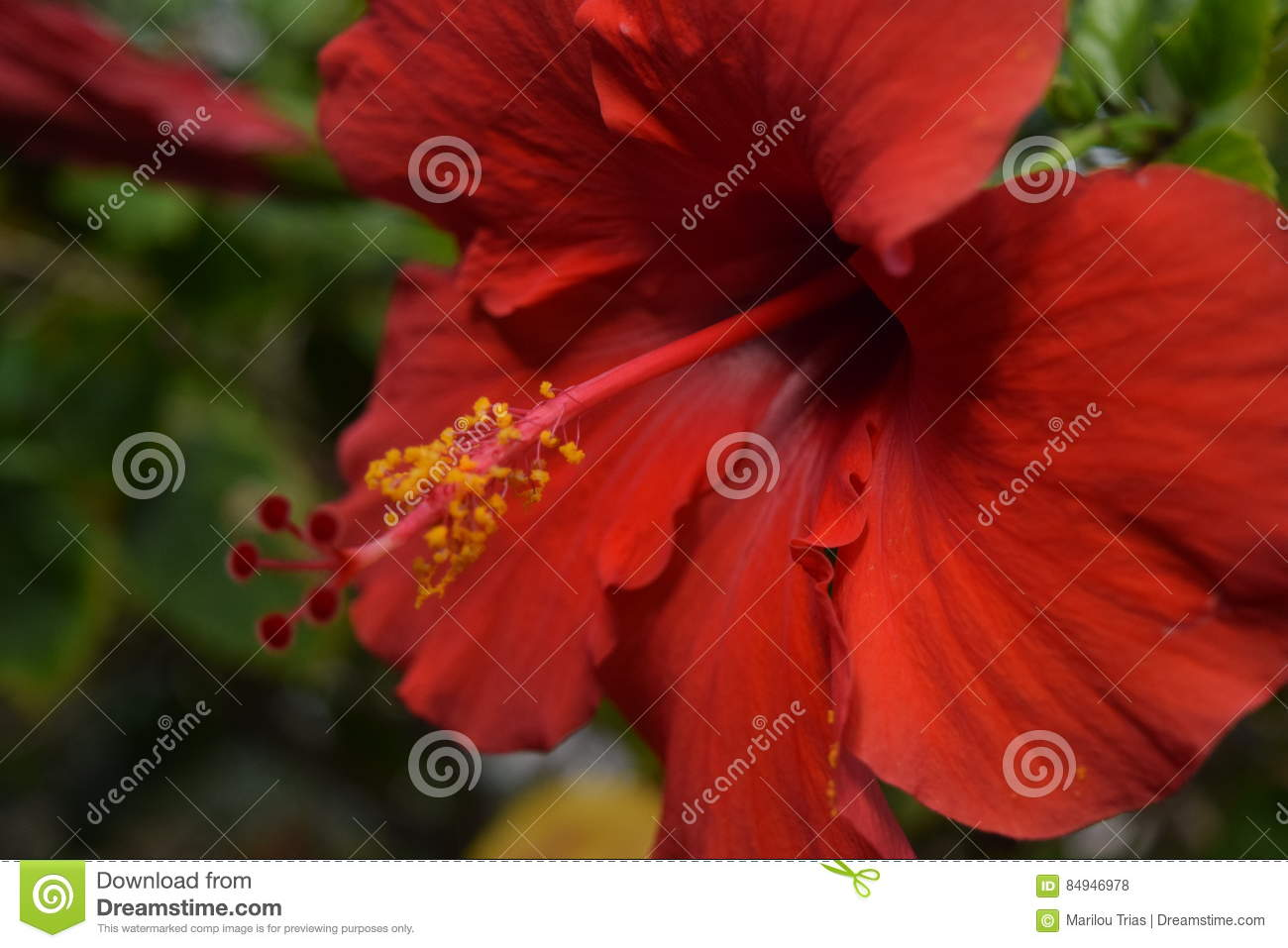 Red hibiscus stock photo image of called used hibiscus 84946978 red hibiscus izmirmasajfo