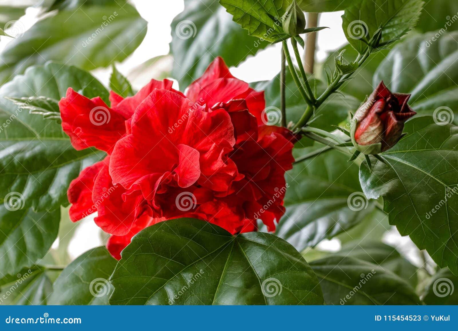 Red hibiscus stock image image of summer stem drop 115454523 red hibiscus izmirmasajfo
