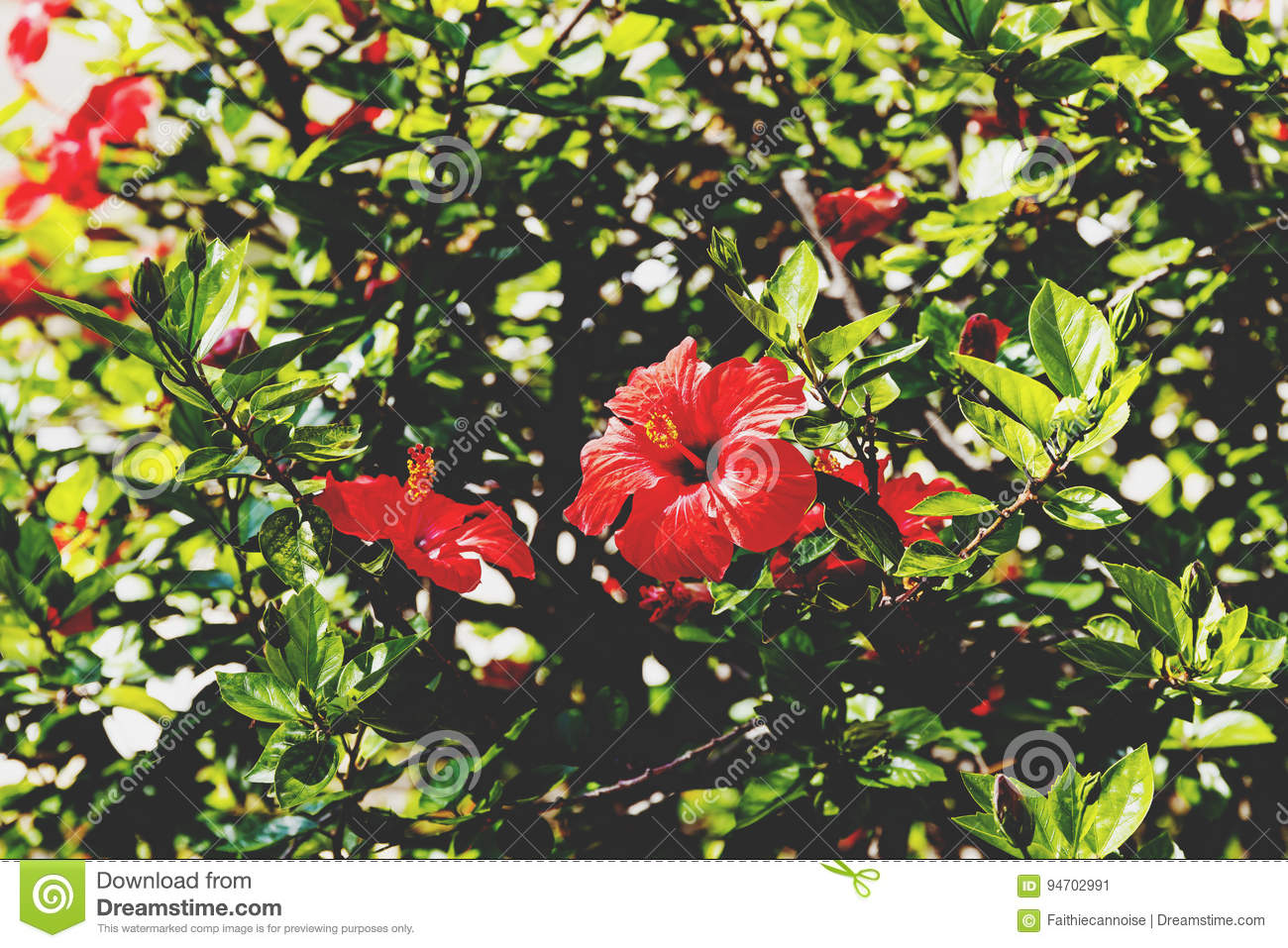 Red Hibiscus Tree In Bloom With Bokeh Stock Image Image Of Macro