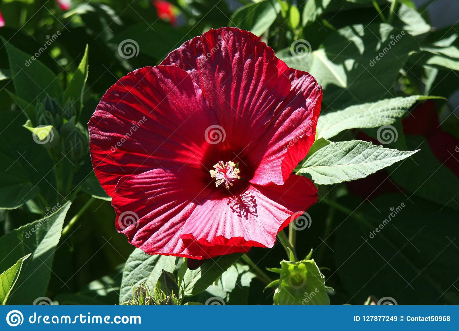 Red Hibiscus Is A Very Hardy Versatile Plant And In Tropical Co