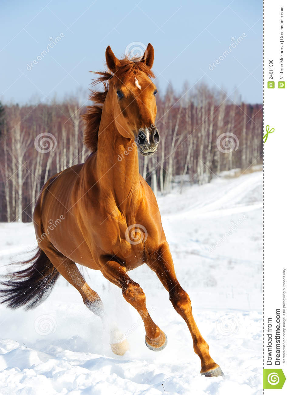 Red Horse Runs Front In Winter Stock Photo Image 24011380