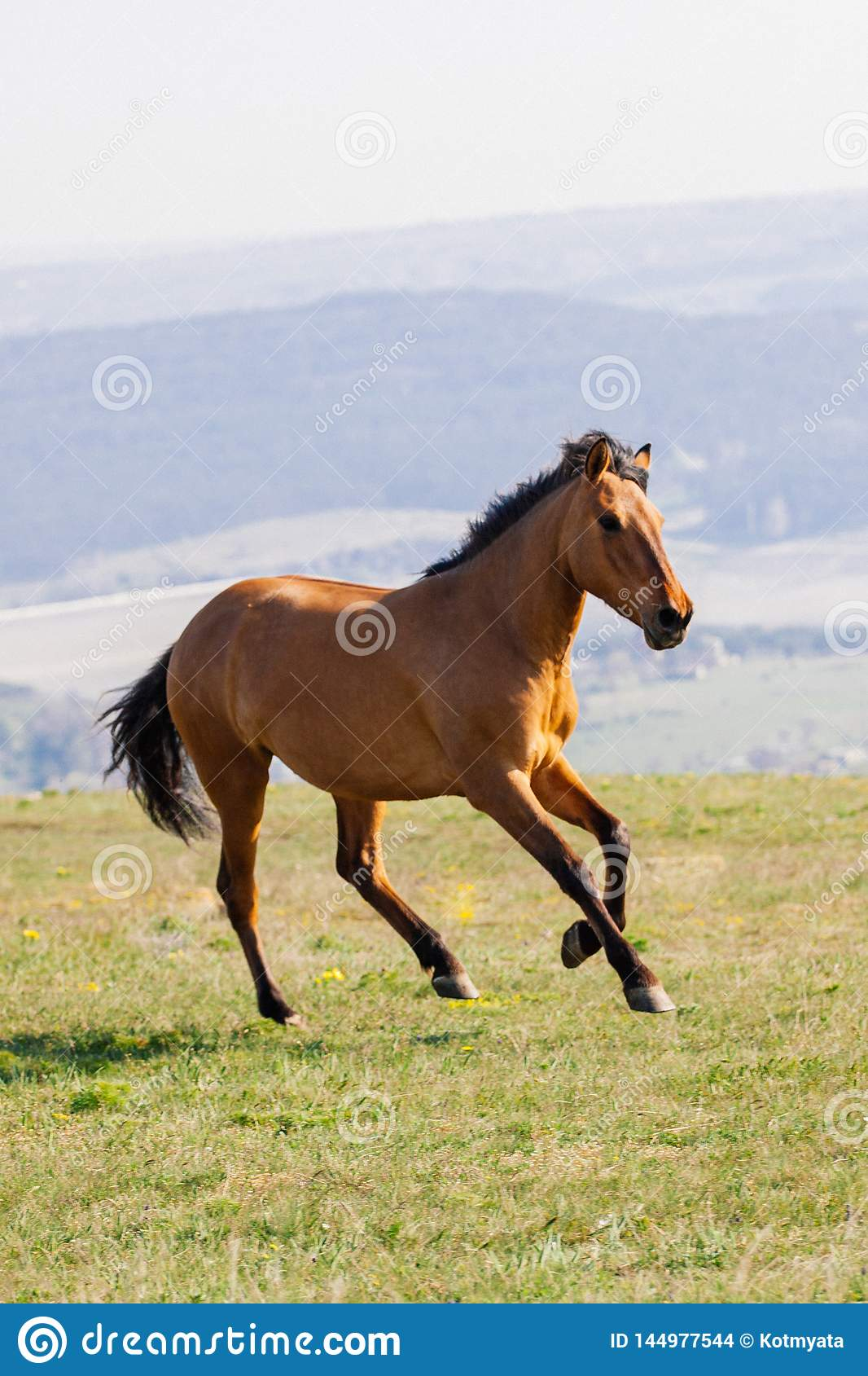 Red horse runs on a green field on clouds background