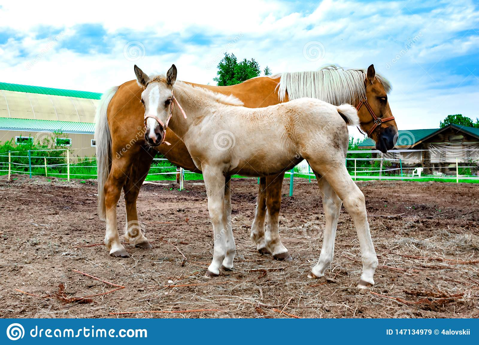 Red horse with a young foal grazing. Stable