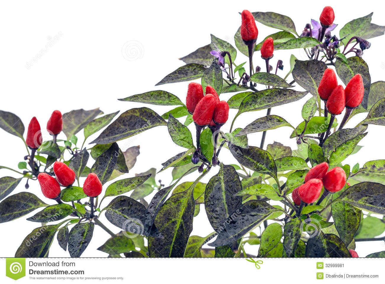 red hot chillies stock image image of agriculture branch