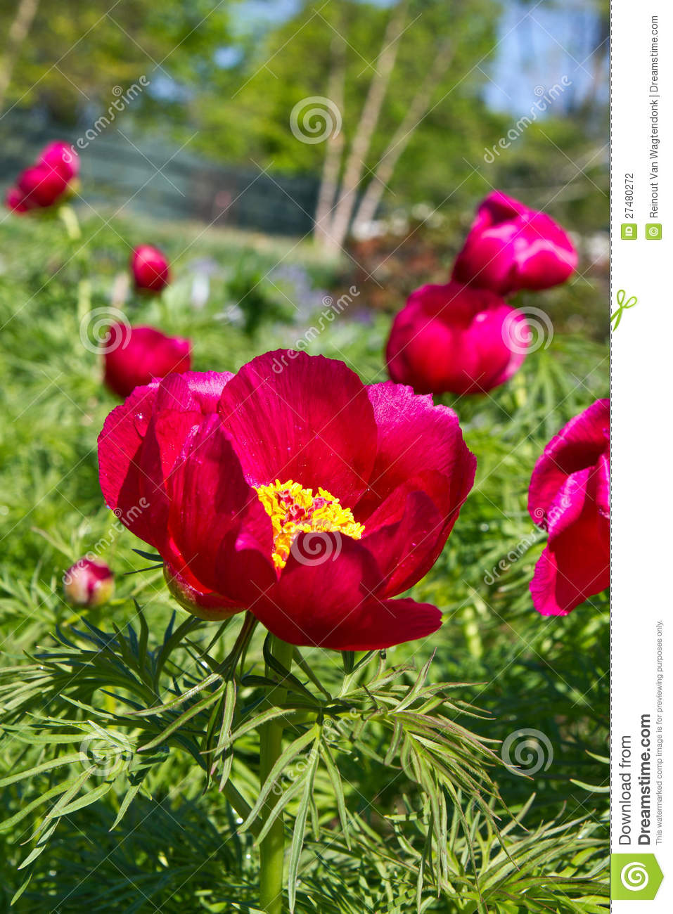 Red hot Peonies