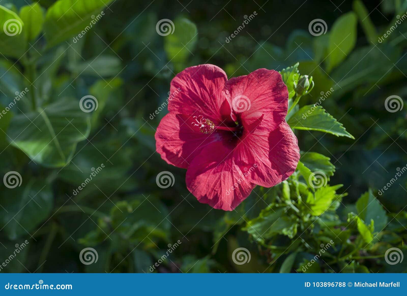 Red hawaiian hibiscus stock photo image of blossoming 103896788 red hawaiian hibiscus izmirmasajfo