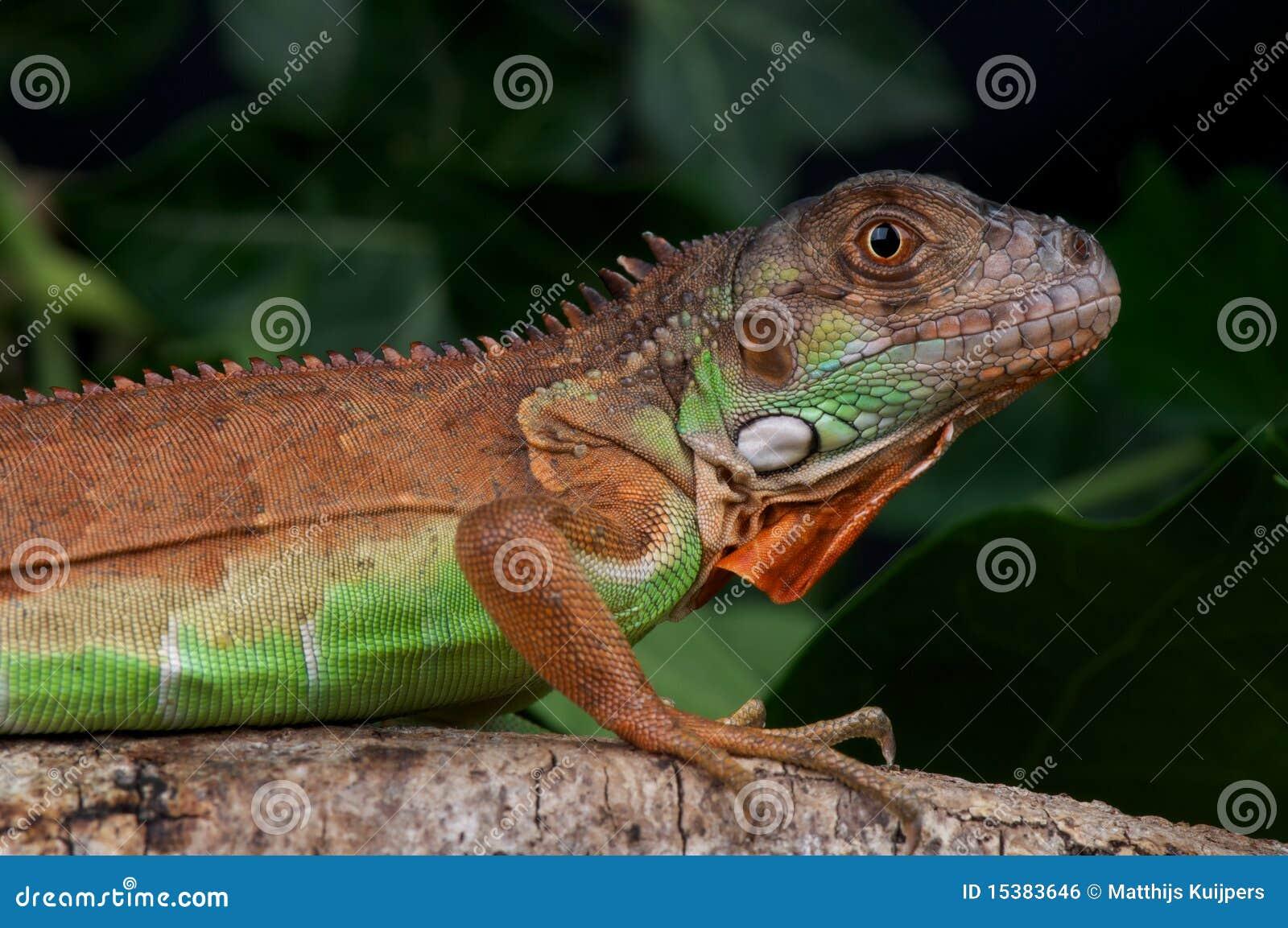 Red Iguana Royalty Free Stock Image - Image: 15383646