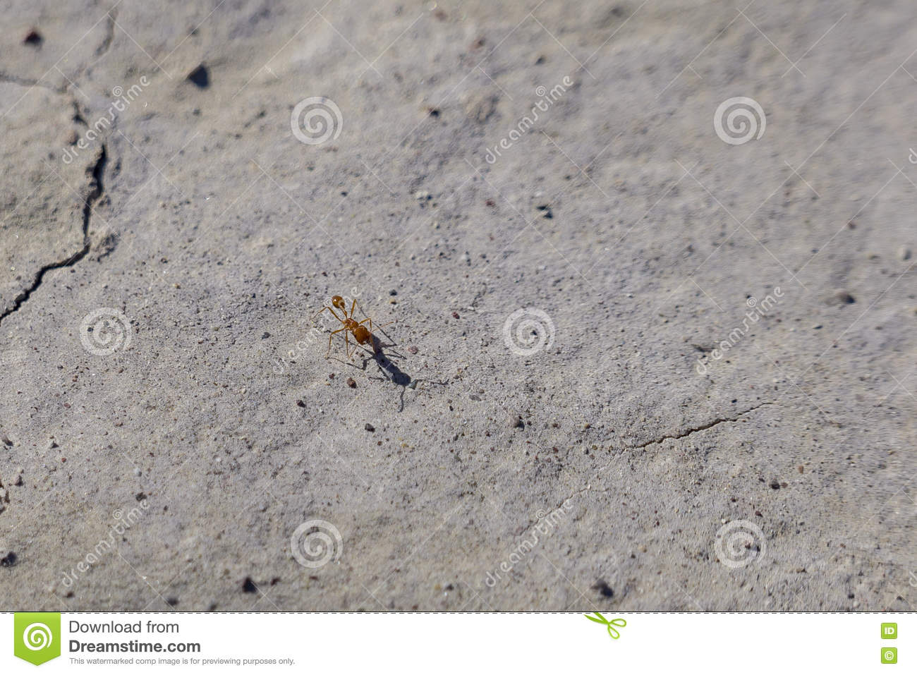 Red Imported Fire Ant around Tecopa