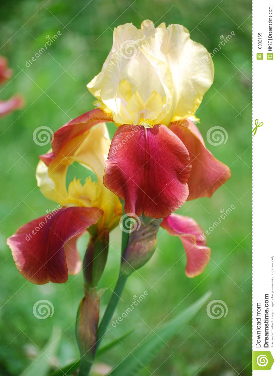 Download Red iris stock image. Image of background, beauty, elegant - 10902165