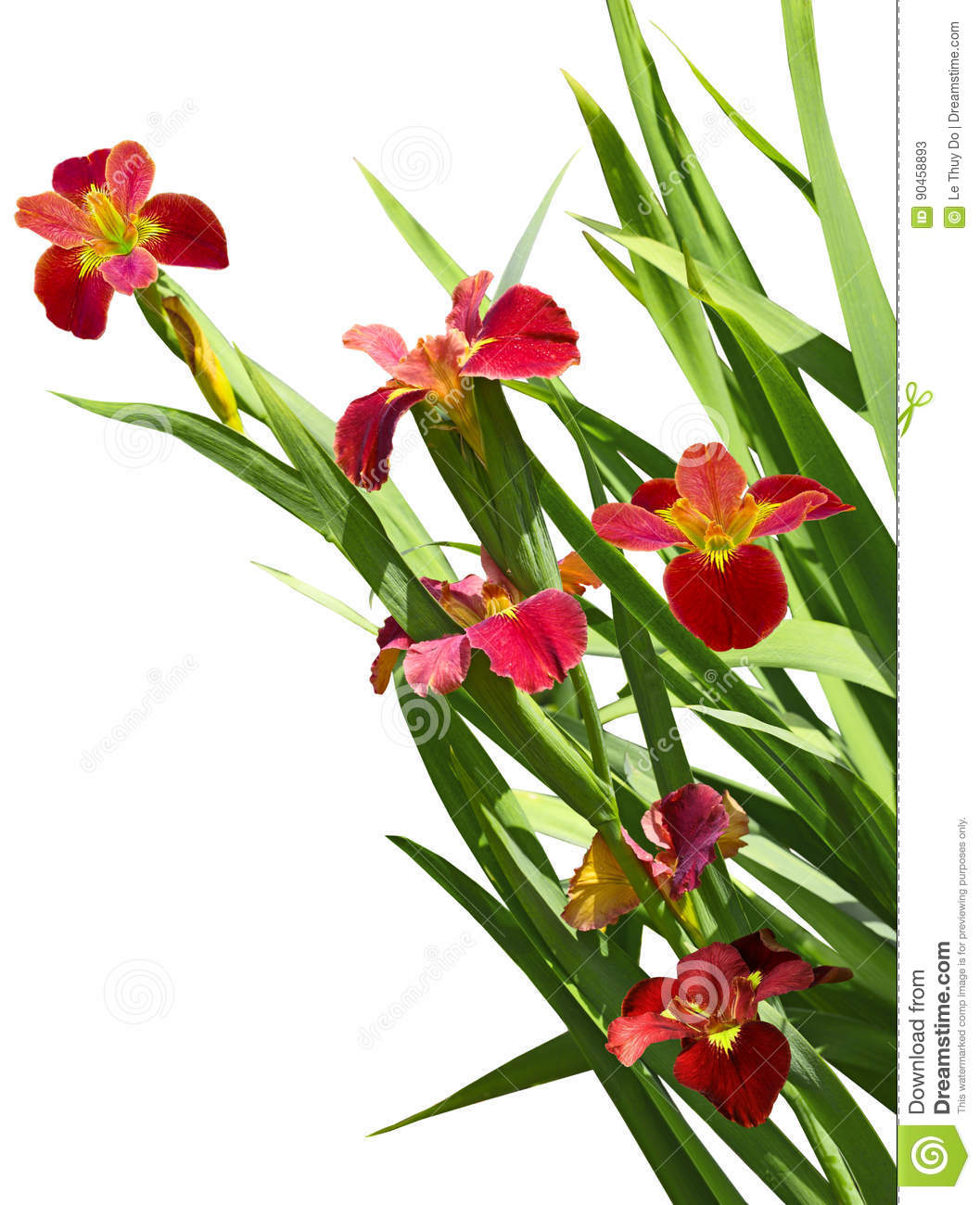 Red Iris Flower Stock Image Image Of Bright Spring 90458893