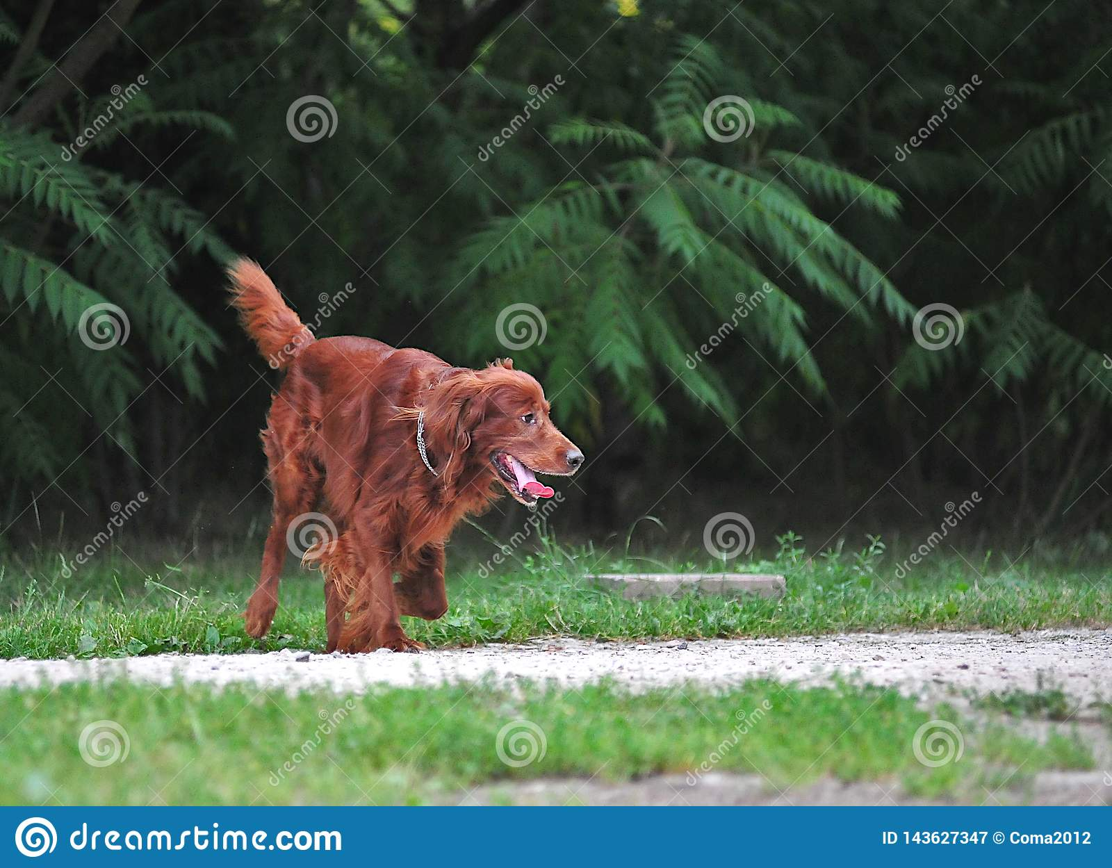 Red irish setter in action
