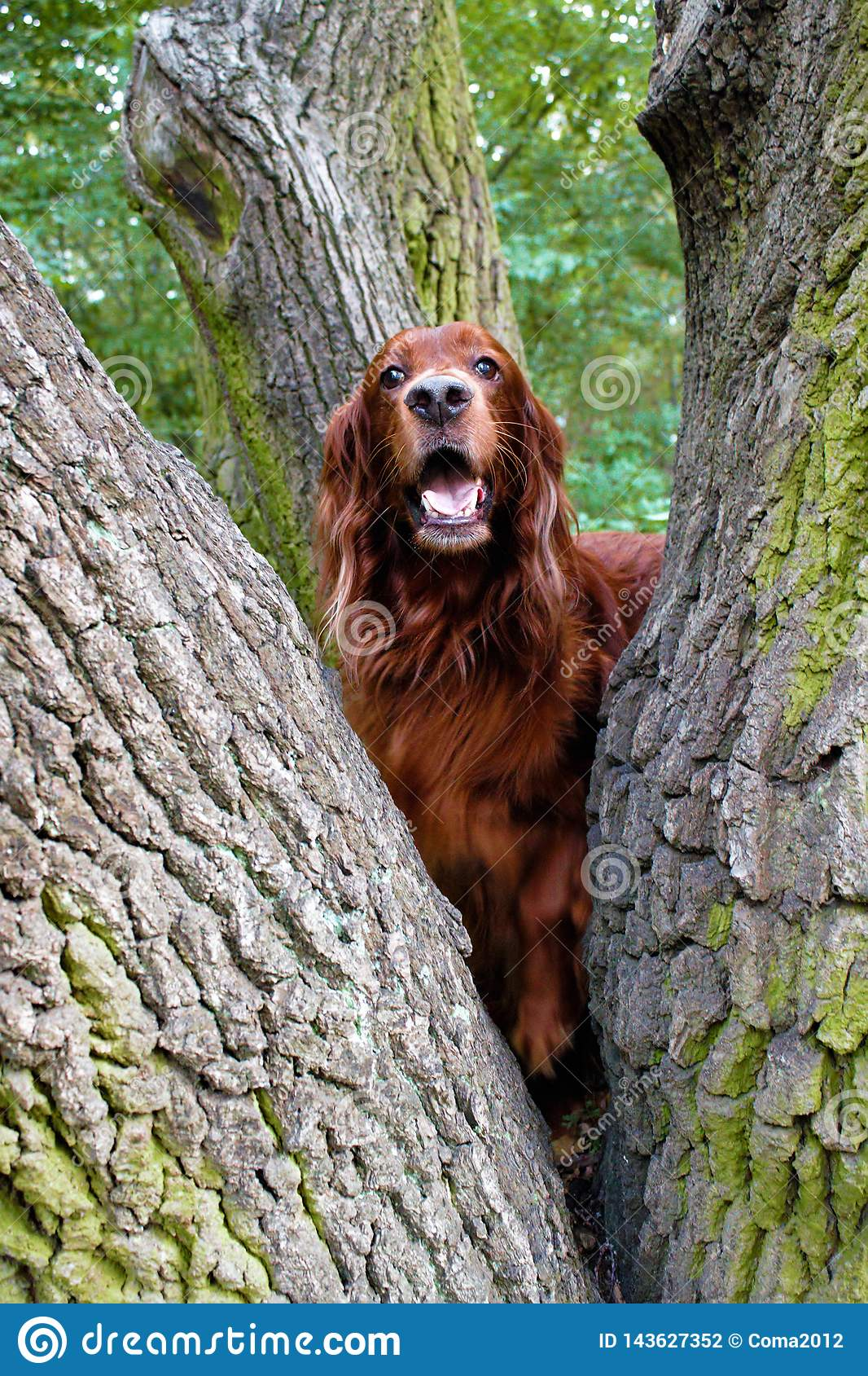 Red irish setter pursuit of a squirrel