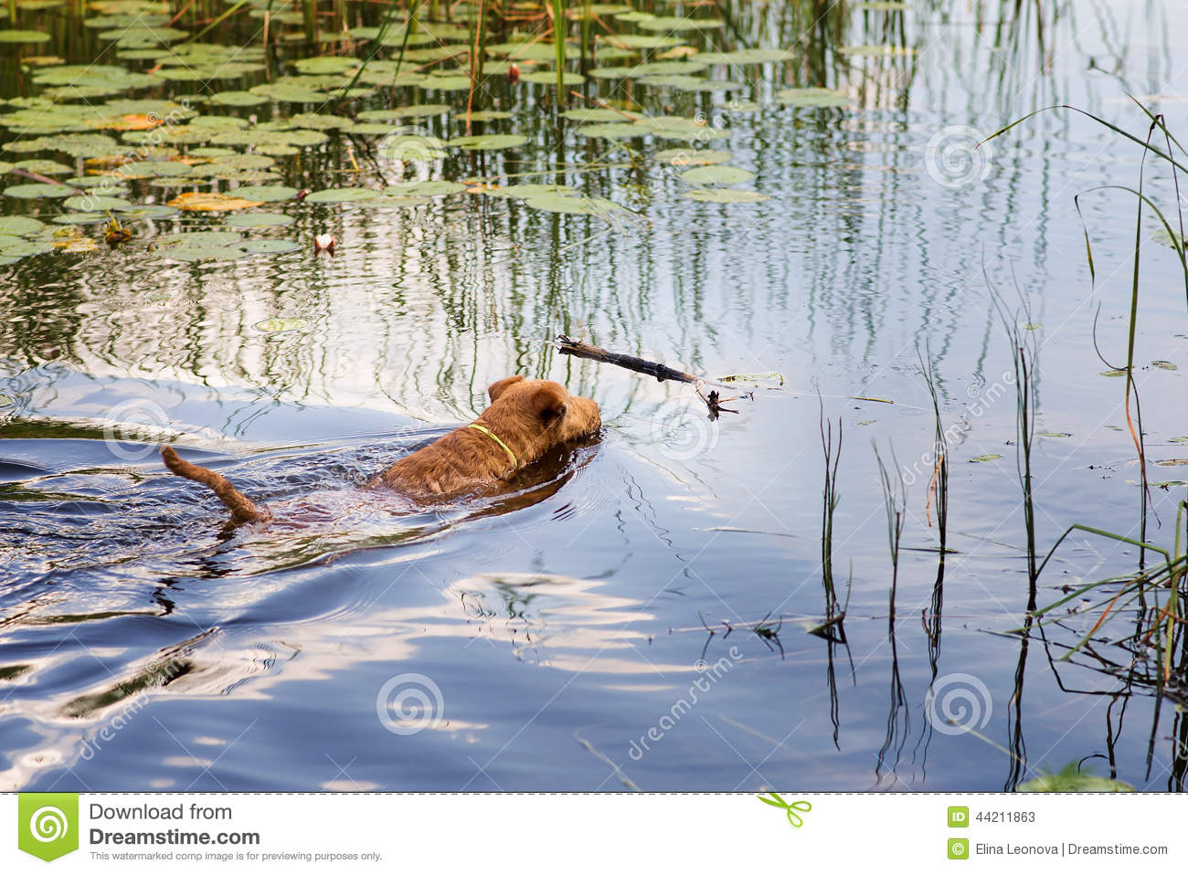 Red Irish terrier pulling a wooden stick from a lake