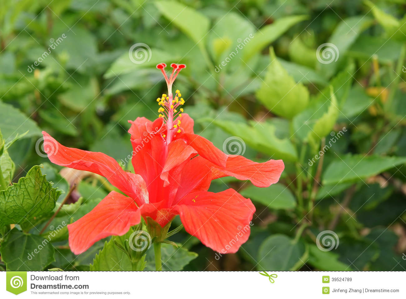 Red jaba flower stock image image of flowers plant 39524789 royalty free stock photo izmirmasajfo Image collections