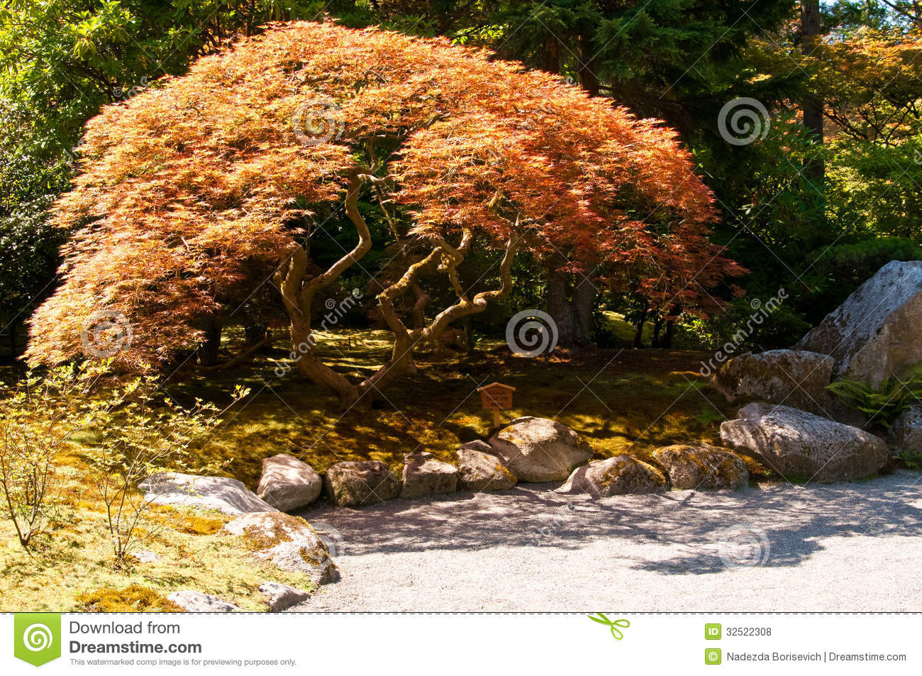 Red Japanese Maple Near The Path In The Japanese Garden Stock Photo ...