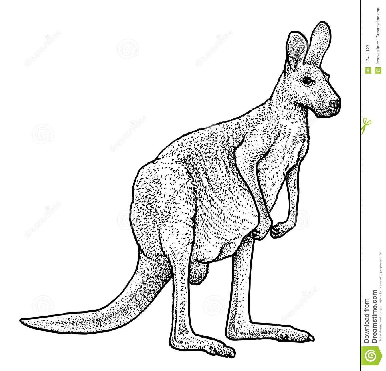 Drawing Red Lines With Green Ink : Red kangaroo illustration drawing engraving ink line