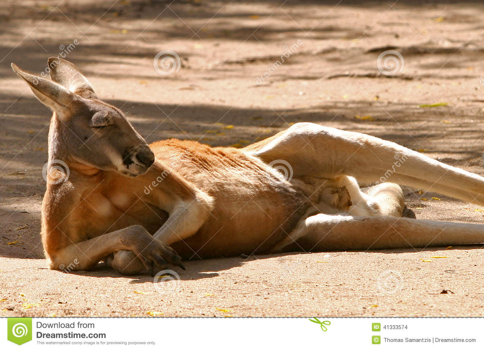 Red kangaroo resting stock photo. Image of posture ...