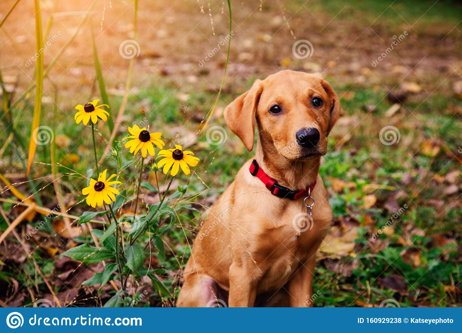 Red Labrador Puppy Sitting By Flowers Stock Photo Image Of Next Comfortable 160929238