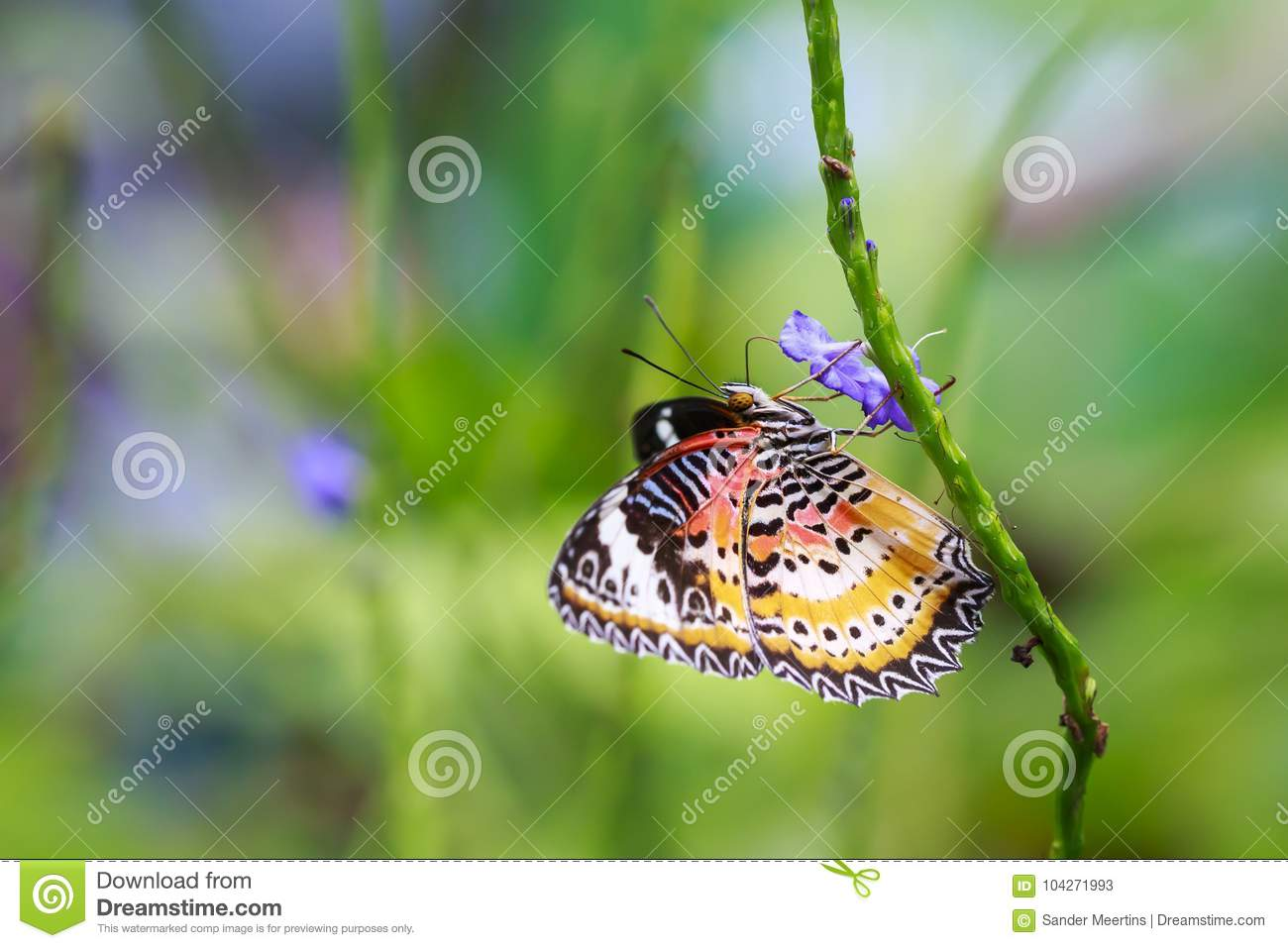 Red Lacewing Cethosia bilbis tropical butterfly resting in fee