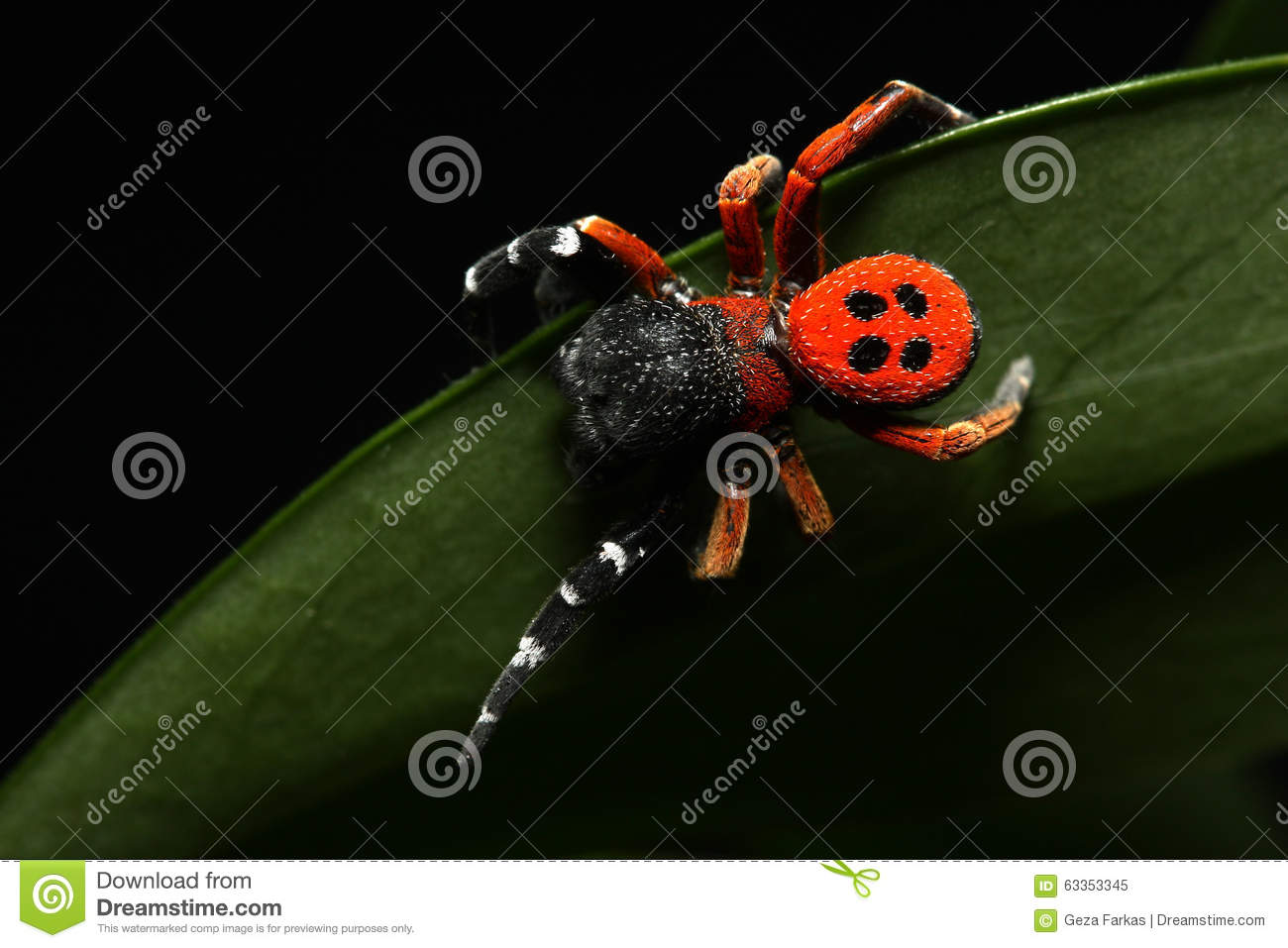 Download Red lady bird spider stock image. Image of dangerous - 63353345