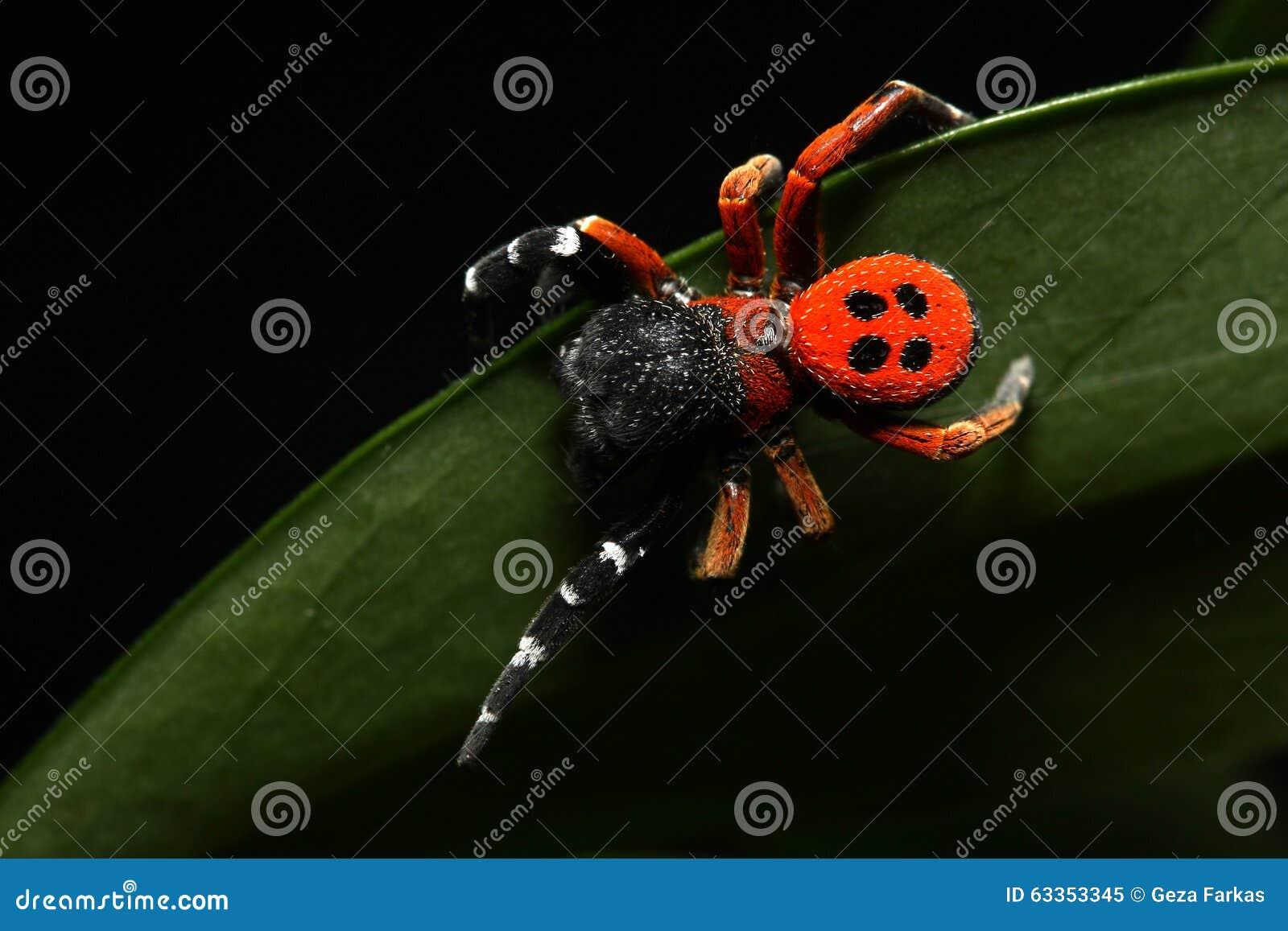 Red lady bird spider