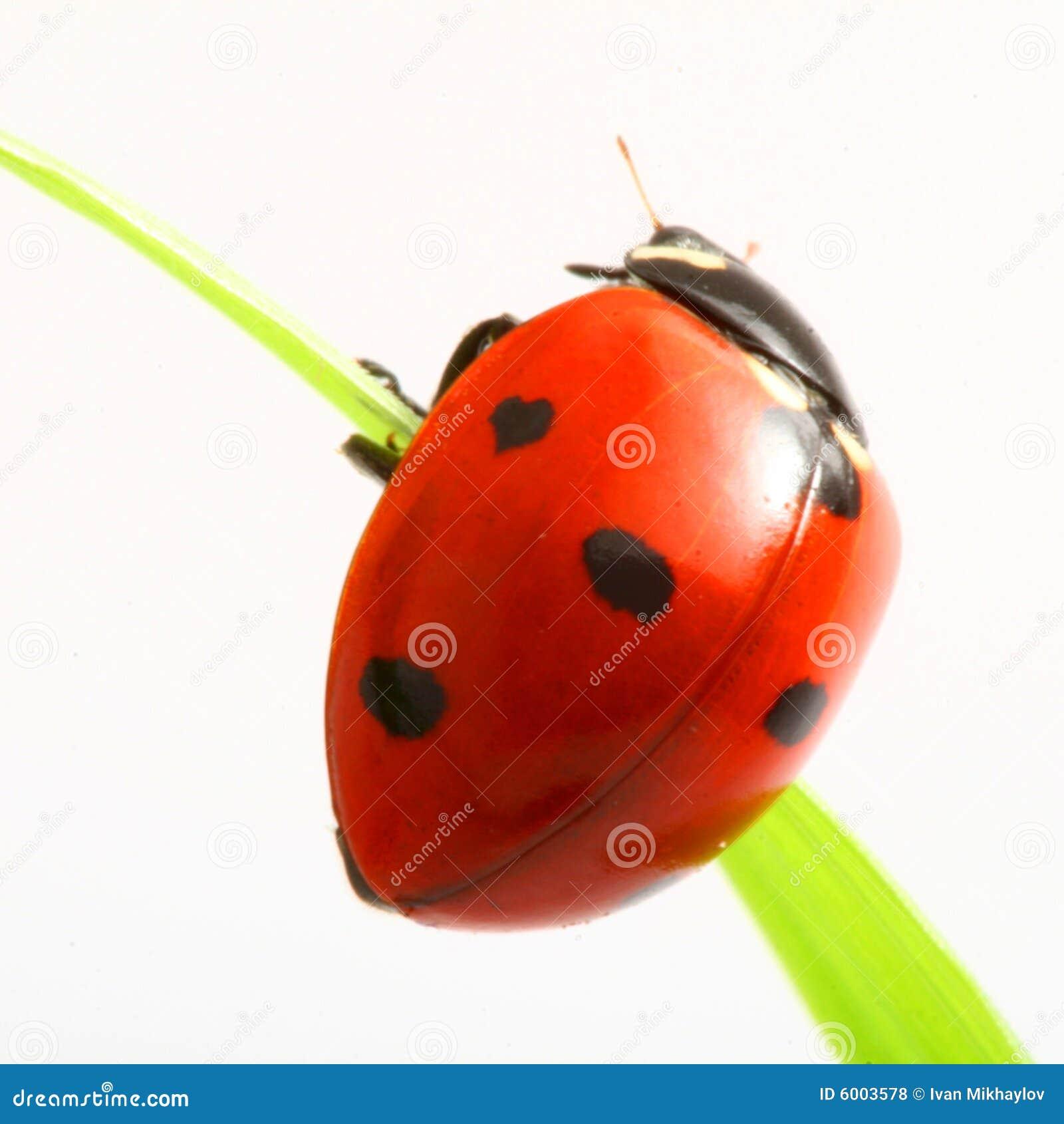 red ladybug background