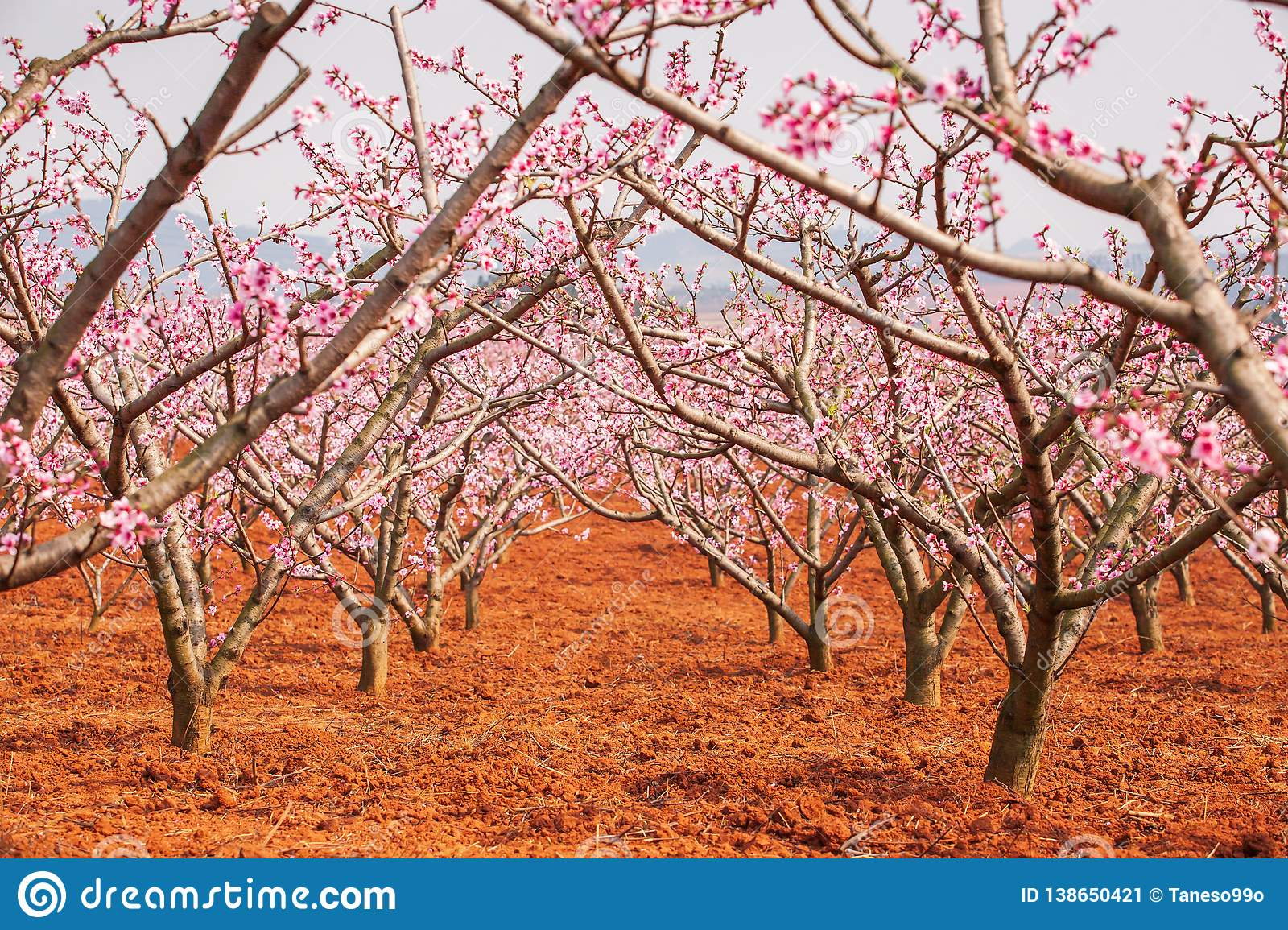 Red land and blooming Peach cherry in the branches of trees, pink flowers in full bloom. Spring blossom. Dongchuan, Kunming