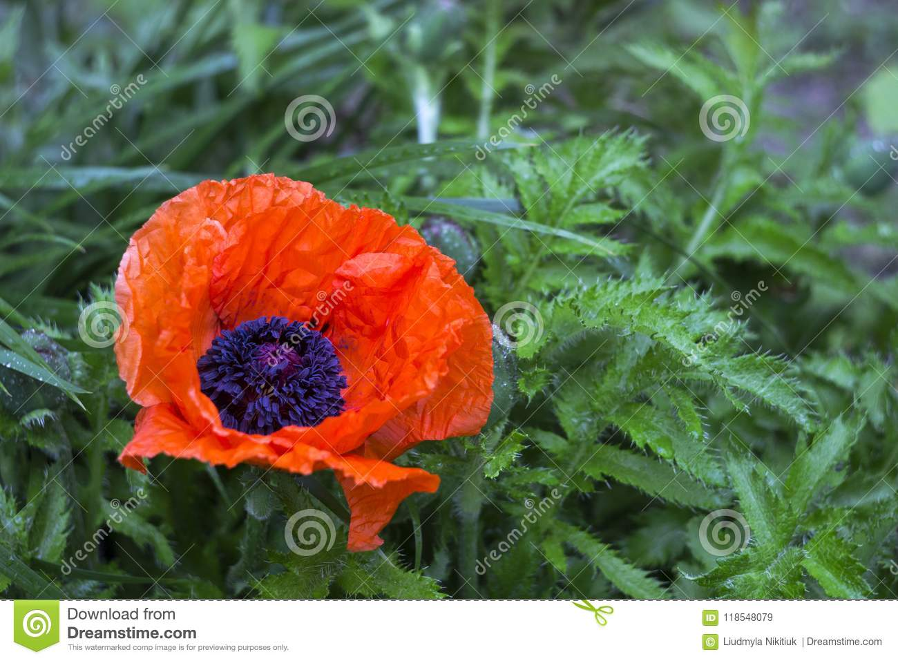 Red Large Poppy Blooms Decorative Papaver After Rain In Spring