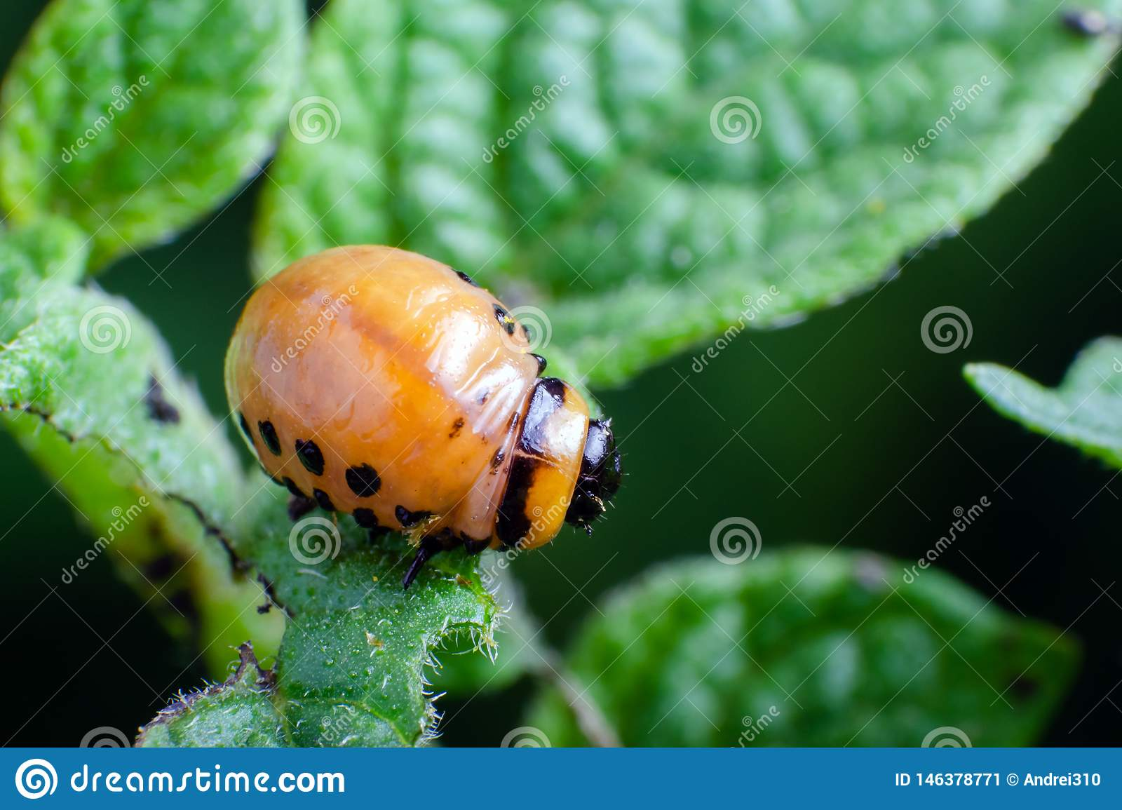 Red larva of the Colorado potato beetle eats potato leaves