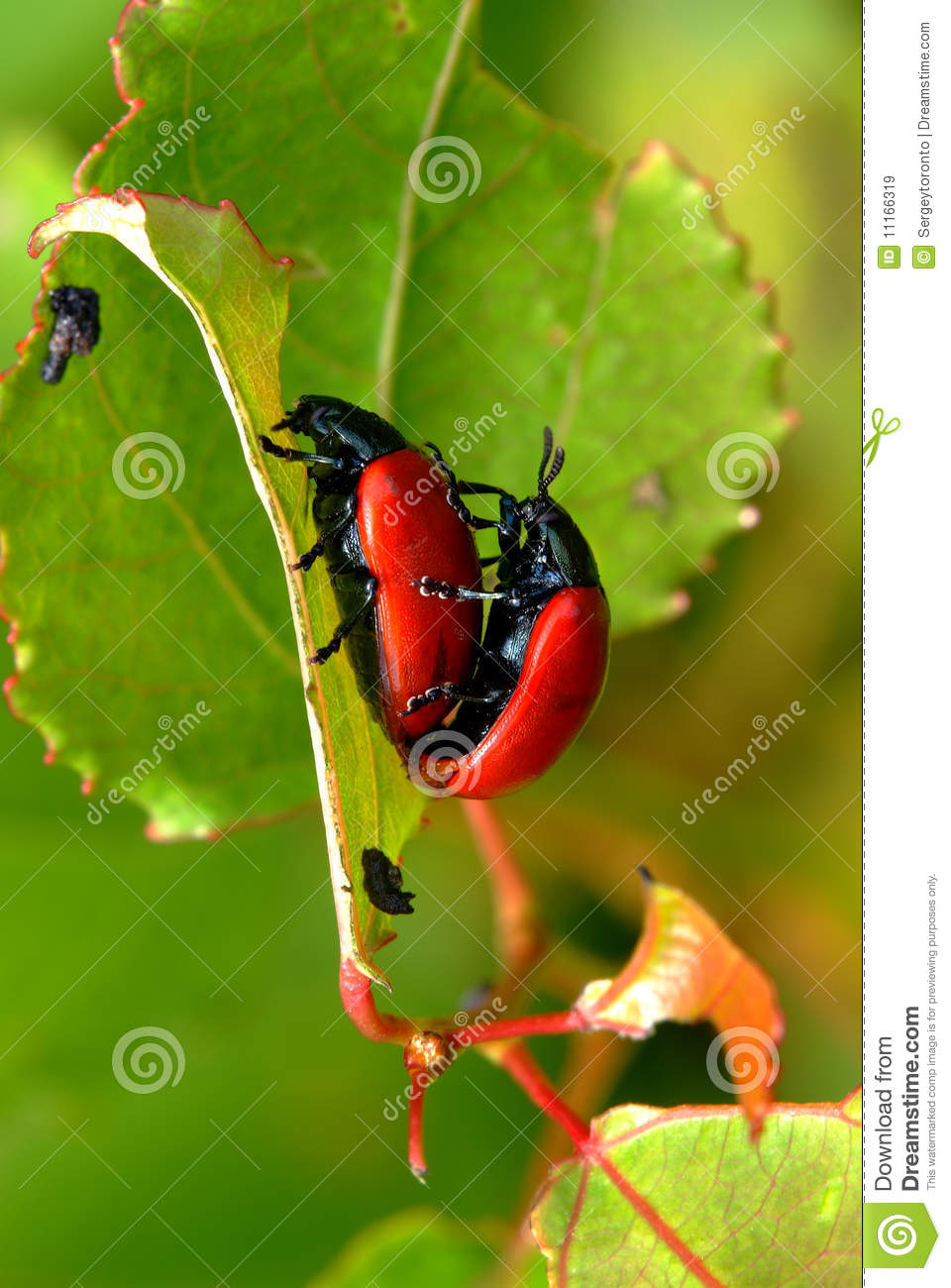 Beetle Reproduction Red Leaf Beetles Repro...