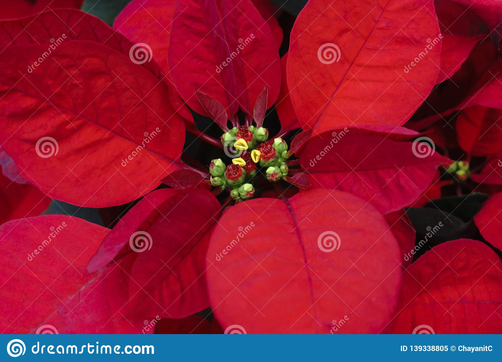 Red of leaf christmas tree - Poinsettia plant macro